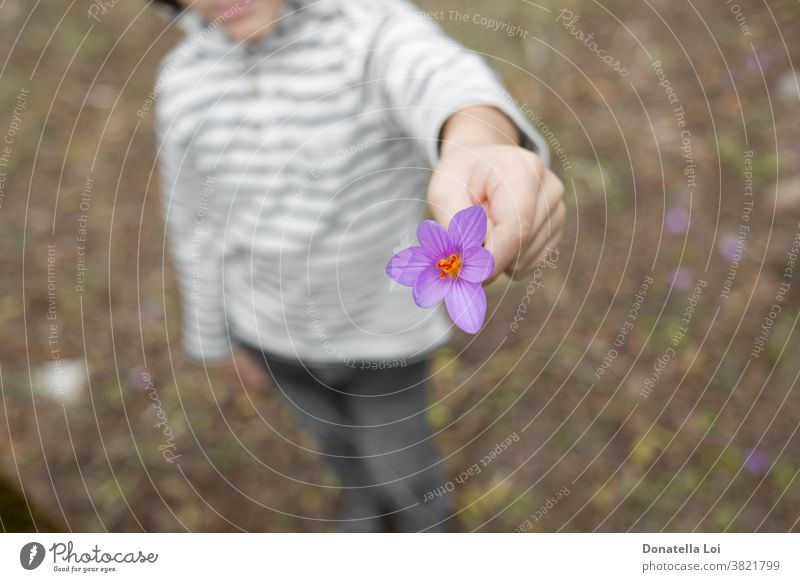 Child holding purple crocus autumn autumn crocus beautiful beauty bloom blooming blossom blurred botanic botanical botany bulb bulbs child childhood close up