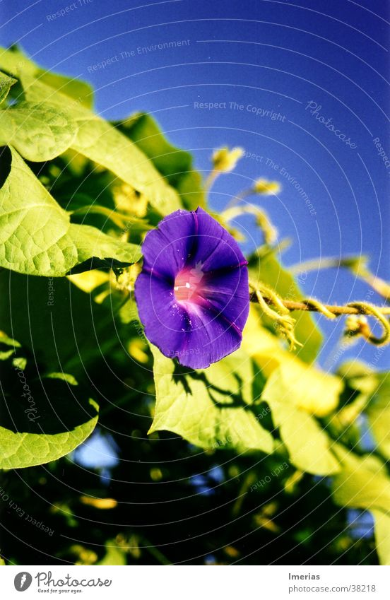 Violet_zoom Nature Plant Sky Cloudless sky Beautiful weather Flower Blossom Blue Green Common morning glory Creeper Colour photo Exterior shot Close-up Detail