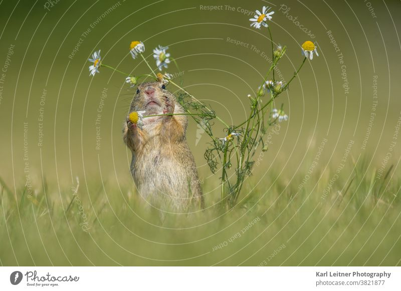 Gopher Marmot Brown Green Rodent Mammal Flower meadow flowers Yellow furry Funny Lovely cute threatened shy Small Hollow