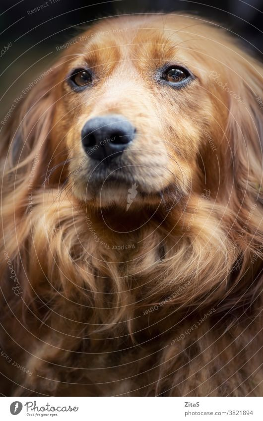 Portrait of a long haired dachshund male dog cute sausage dog doggy pup puppy canine fur furry brown pet animal breed pooch loyal domestic portrait closeup