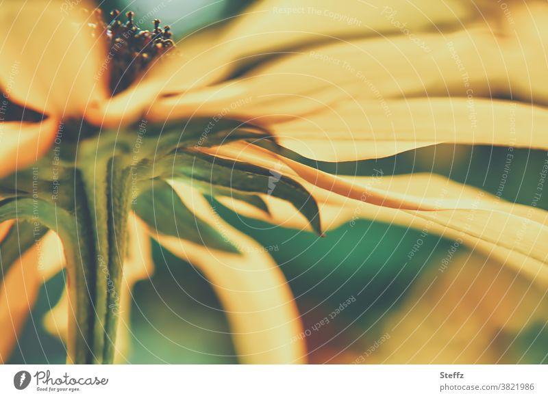 Sunflower in October sun Helianthus golden october sunflower in bloom differently october weather Yellow Blossoming Autumnal Near Seasons Decent