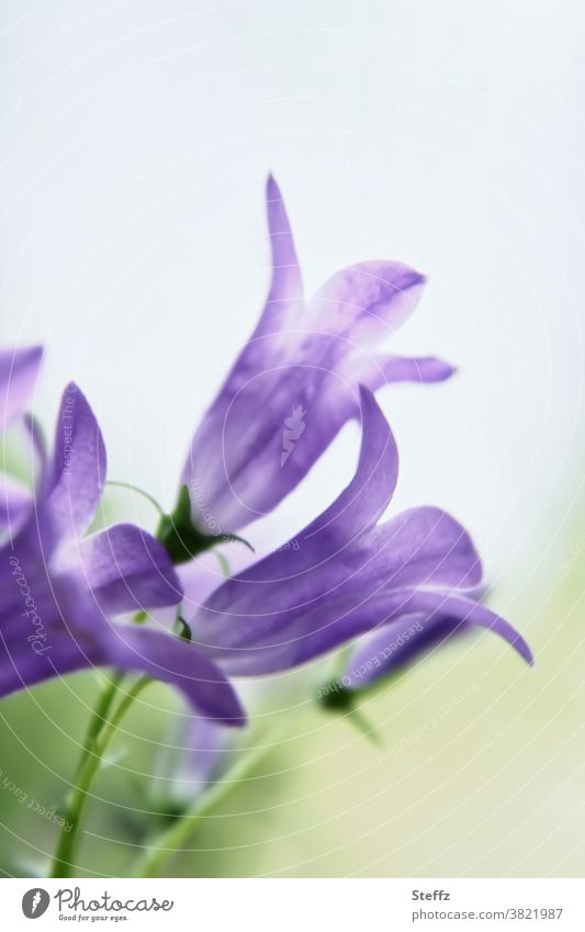 tenderly flowering campanula Campanula blossom Bluebell discreet blossoms Violet purple Fine Delicate pastel shades Decent Bellflowers Illuminating romantic