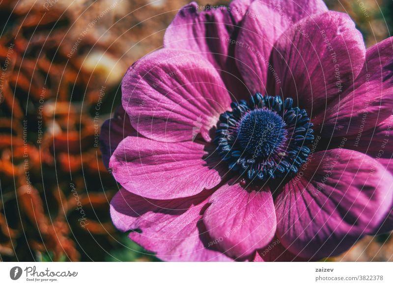 Macro of an isolated pink flower of anemone coronaria poppy anemone spanish marigold windflower mediterranean blossom vegetation flora floral botany botanical