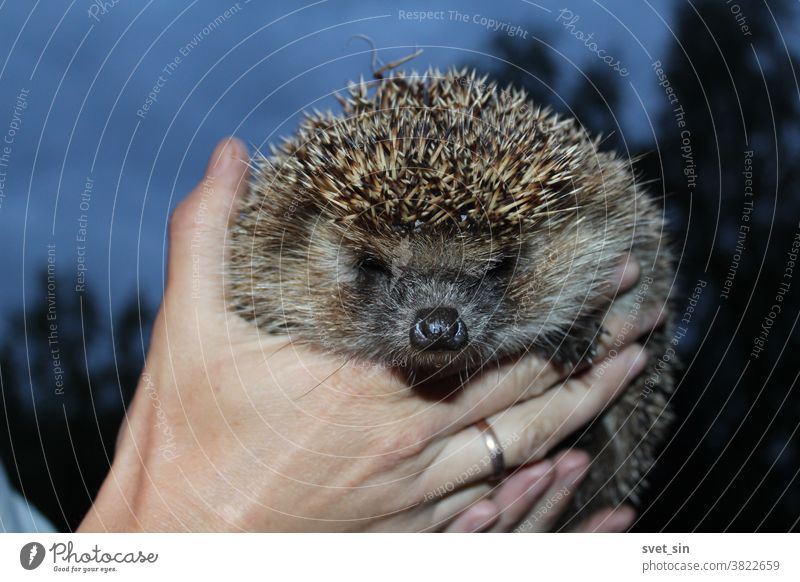 A frowning hedgehog with spiky gray-brown needles and a wet black nose in female hands close-up outdoors against a twilight sky on a summer evening. Northern White-breasted Hedgehog or Erinaceus roumanicus.