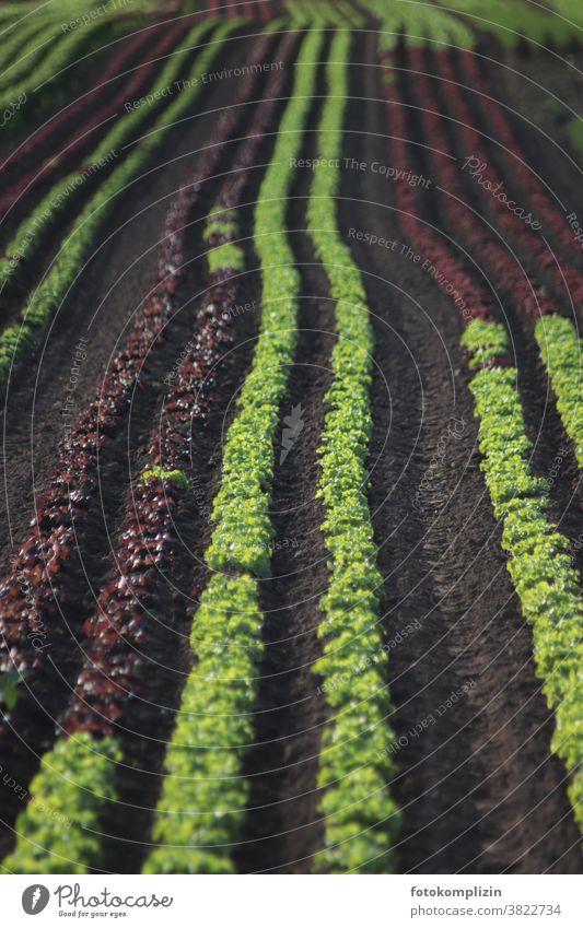 Salad Rows Lettuce Lettuce heads Vegetarian diet vegetable gardening Field Lettuce Field head of lettuce planting Vegetable Garden Bed (Horticulture) Food Fresh