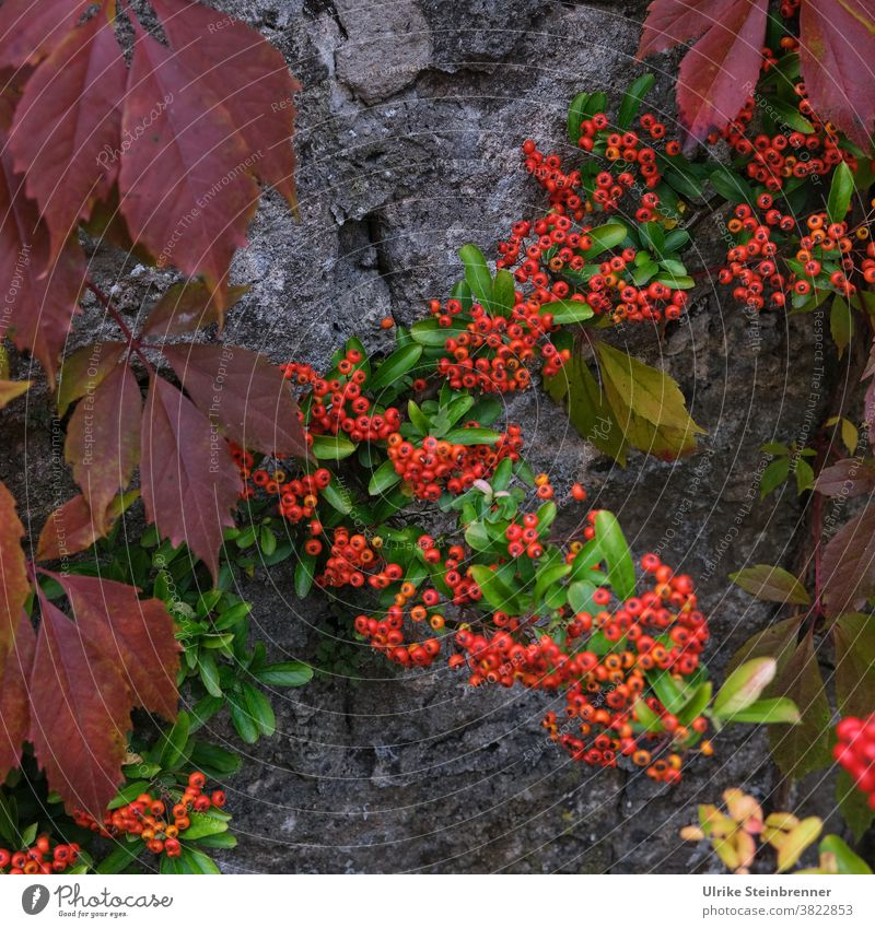 Firethorn and leaves of wild wine shine in autumn colours Burning bush Berries Virginia Creeper vine leaves pyracantha shrub Wall (barrier) creeper