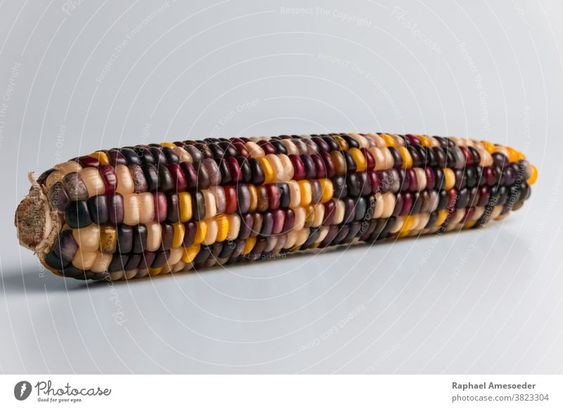Multi colored corncob of fall harvest, studio shot agriculture autumn background close-up closeup colorful cooking crop decoration decorative dry eating farm