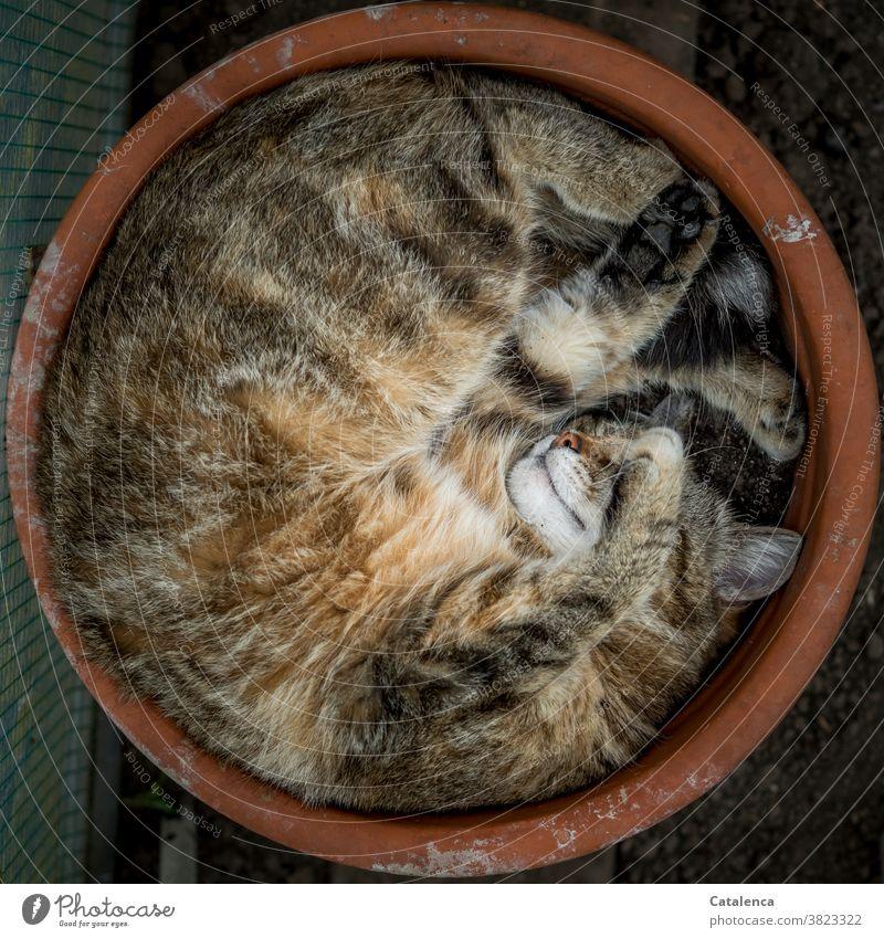 Occupied | Favorite sleeping place flowerpot Nature fauna Cat Animal Tieger cat Domestic cat Sleep Flexible Flowerpot Tone terracotta relaxation Animal portrait
