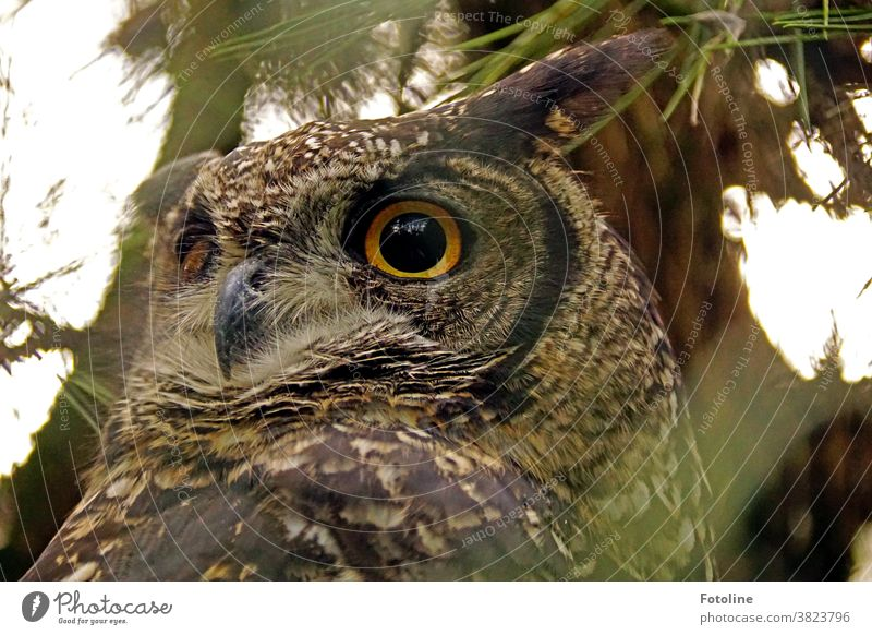 Big eagle owl is watching you - or a big eagle owl looks around attentively. Eagle owl Animal Owl birds Colour photo Wild animal Bird Exterior shot 1