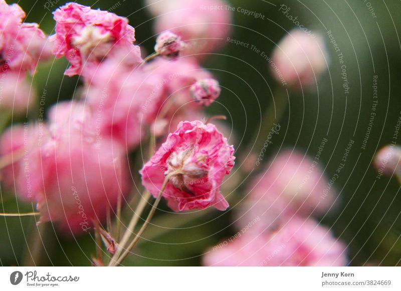 Pink veil herb pink flower Flower Nature Macro (Extreme close-up) Colour photo Plant Close-up Dry Baby's-breath Blossom