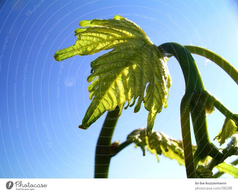 youngling Vine Leaf Summer Vineyard Bud