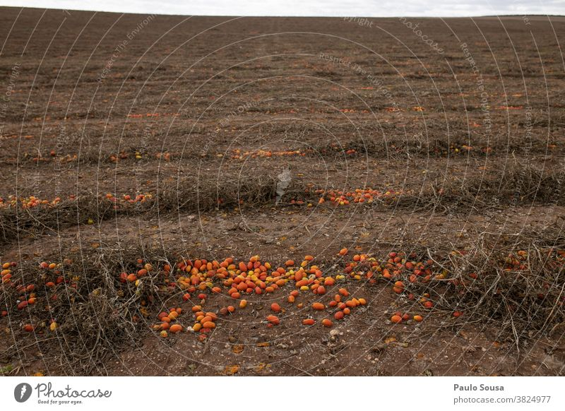 Wasted tomatoes on field Crops Harvest harvest season waste wasted Agriculture Agricultural crop Industry Economy agriculture Landscape Exterior shot Nature