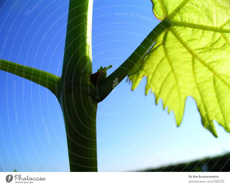 ~/root Vine Leaf Summer Vineyard Bud
