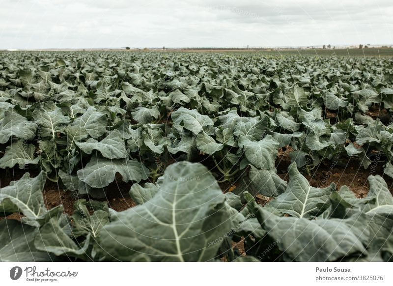 Cabbage broccoli plantation field Cabbage leaves Broccoli Agriculture Agricultural crop Vegetable Green Colour photo Nutrition Food Plant Vegetarian diet Fresh