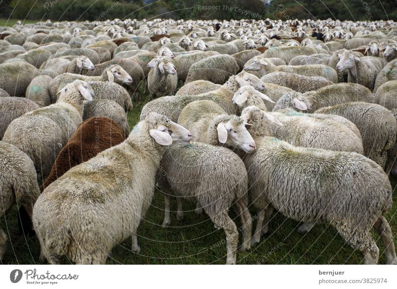 Flock of sheep in summer Herd Willow tree Farm Animal Lamb Wool Landscape Nature group Livestock Agriculture Mammal rural Sheep tree gape green hills out