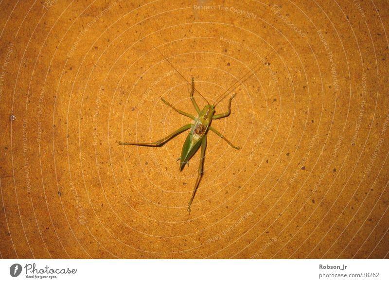 grasshopper alder Insect Locust Nature Detail Carausius Morosus