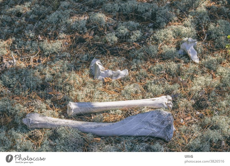 Animal Bones In A Woodland Area - The end of an animal in the form of skeletal remains, i.e. bones in a piece of forest. skeleton wood dead nature death limp