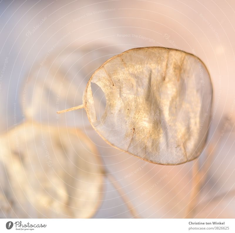 golden shining seed silicles of the annual silver leaf / Lunaria annua. Close-up with shallow depth of field. garden silver leaf Silverling Garden Moon Violet