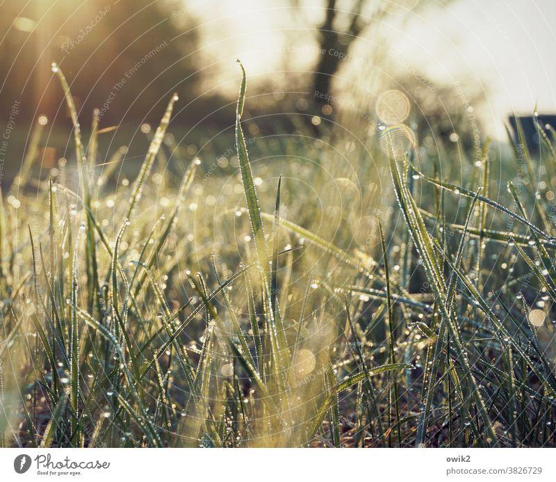 Golden Fleece morning dew flicker Lawn wet grass sparkle Growth Environment Garden Macro (Extreme close-up) Worm's-eye view Illuminate Mysterious dew drops Drop