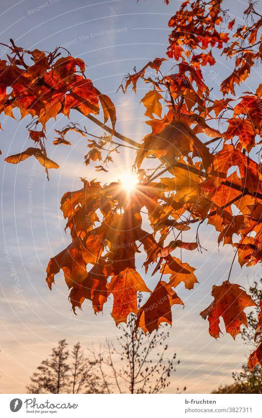 Red autumn leaves in sunlight Autumn Leaf Nature Tree Forest Exterior shot Deserted Sunlight Sunbeam Back-light Beautiful weather Calm evening light idyllically