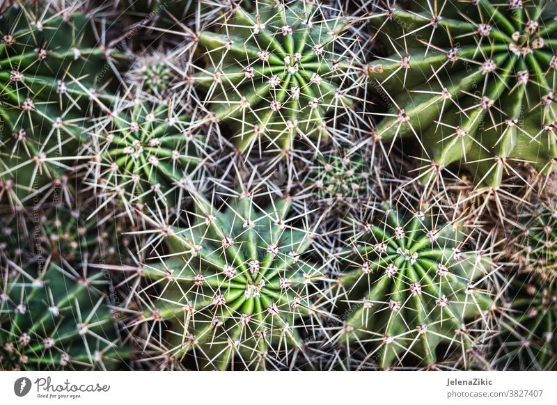 Natural cactus background nature plant green repetition abstract garden naturalism yellow-green sharp pattern blur detail overlapping horizontal alignment