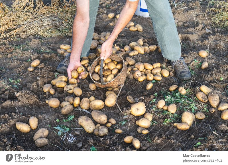 Potatoes fresh from the ground. Man collecting potatoes. Farming. Agriculture man harvest take out basket rural land farm tuber food ingredients people organic