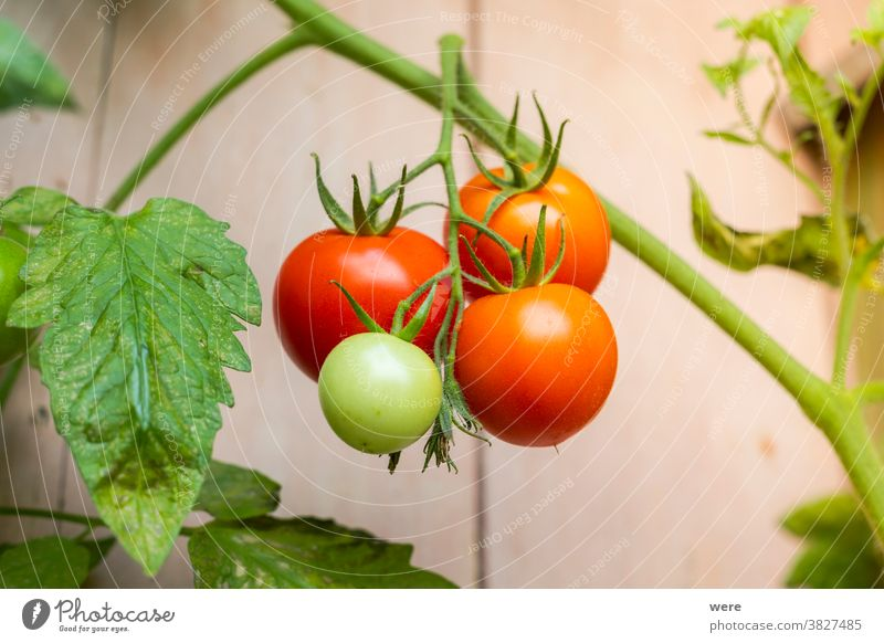 Ripe tomatoes hang from a tomato plant copy space farmer flowers food fruit fruit growing garden gardening nature nobody organic food regional regional products