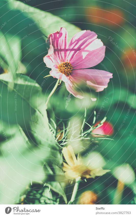 blooming cosmetics Cosmea autumn flower bipinnata Cosmos bipinnatus autumn garden Autumn flowering blossoming flowers autumn flowers autumn bloomer Flowerbed
