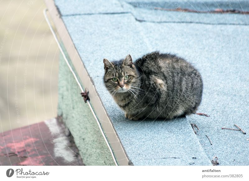 Prague cat Outskirts Wall (barrier) Wall (building) Roof Pet Cat Animal face Pelt Claw Paw 1 Stone Concrete Observe Crouch Esthetic Curiosity Beautiful Blue