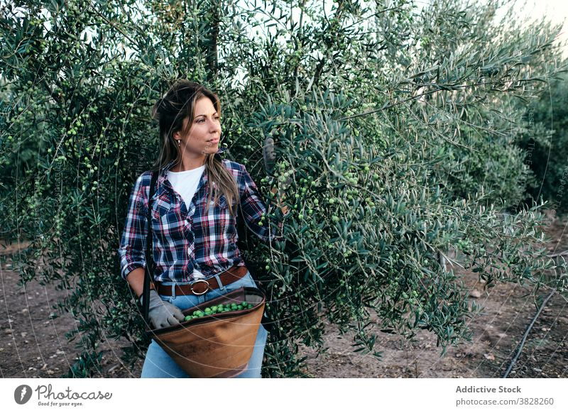 Woman harvesting olives on farm farmer pick collect plantation woman agriculture tree rural female adult small business owner work organic job agronomy
