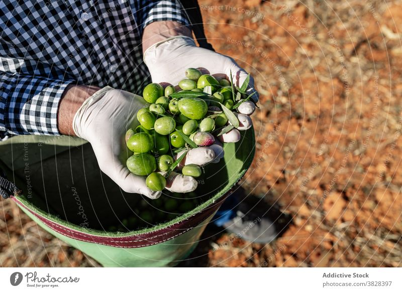 Farmer with ripe green olives in bag farmer handful fruit agronomy harvest vitamin garden nature collect cultivate season plantation organic agriculture natural