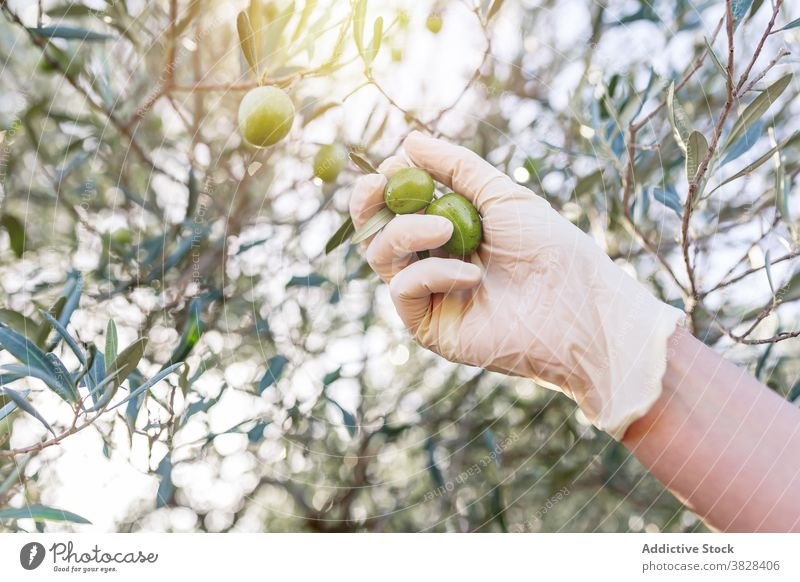 Crop farmer harvesting fresh fruits from tree pick olive agriculture branch garden raw cultivate rural green organic ripe growth nature glove gardener food