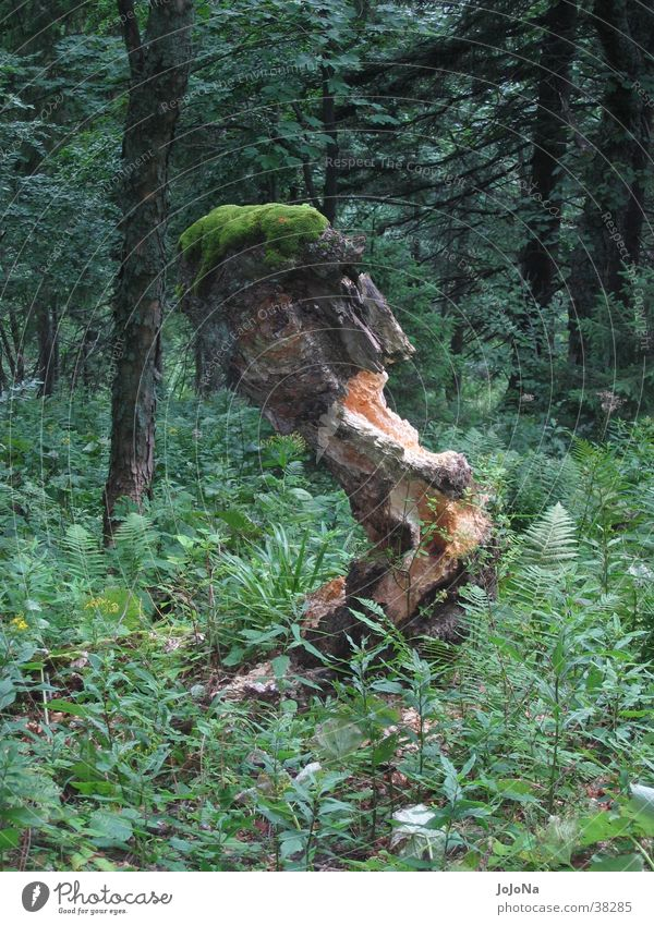 tree stump in the mala fatra Dull Forest Green
