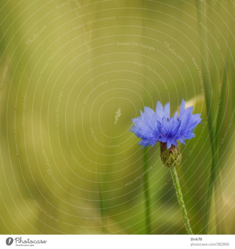 Blue flower Grain Plant Flower Grass Leaf Blossom Cornflower Stalk Blade of grass Field Manmade landscape Cornfield Grain field Margin of a field Blossoming