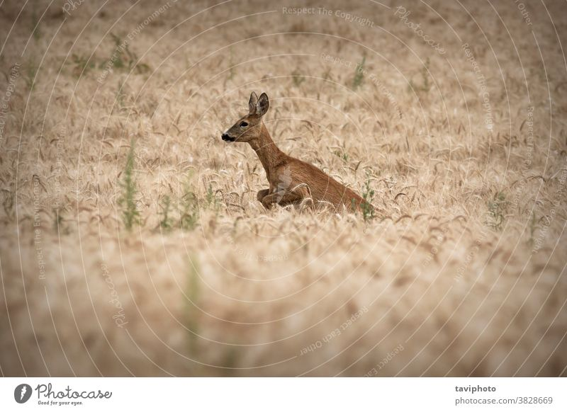 roe deer doe jumping in wheat field camouflage beautiful fauna habitat agriculture capreolus mammal wilderness wildlife game running pest roedeer hind beauty