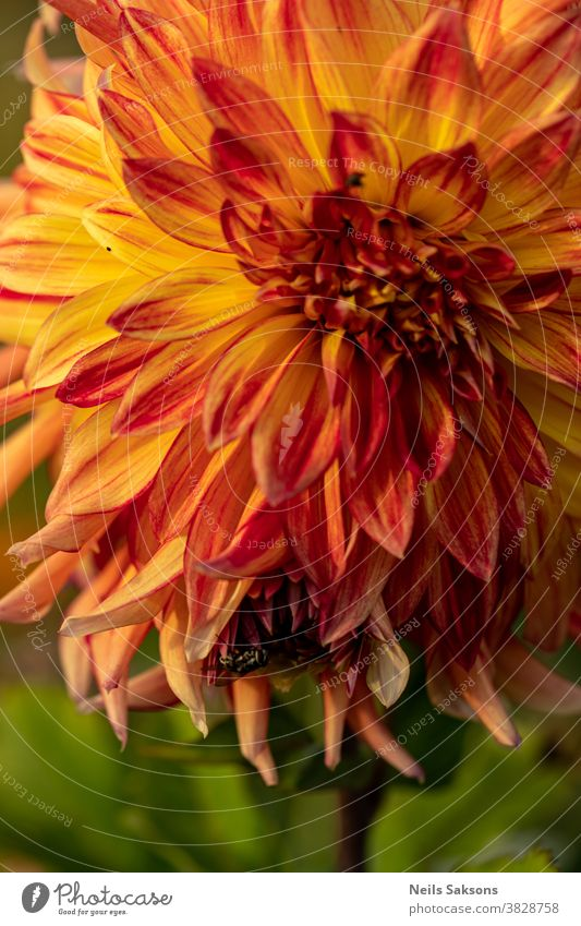closeup of beautiful orange dahlia blooming with fly sitting on it Autumn background beauty black blossom bokeh botany bright brown bugs color colorful