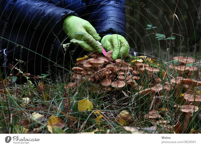 Mushroom picker cuts mushrooms with a knife clearing womans looking female green activity brown collect forest fresh human natural organic season adult autumn