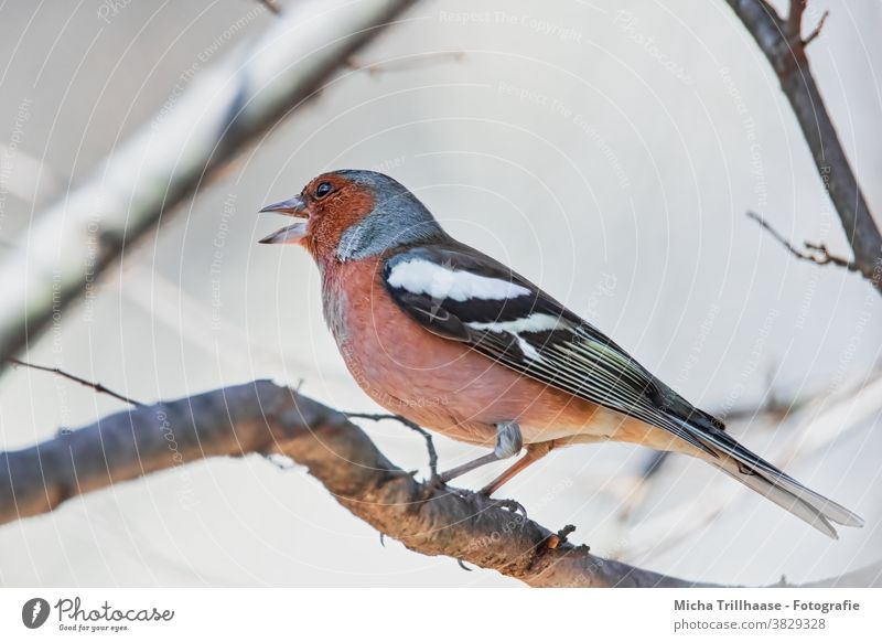 Singing Finch Chaffinch Fringilla coelebs Head Beak Animal face Eyes Claw Grand piano Bird Wild animal Feather Twigs and branches Colour photo Exterior shot