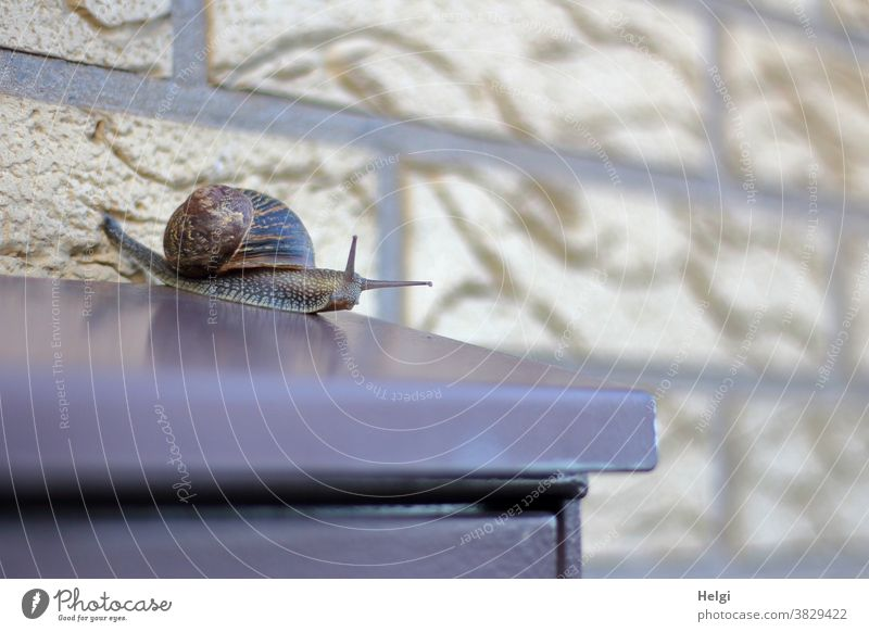 Snail mail - Roman snail crawling around on a mailbox Crumpet escargot Animal crawling animal Mailbox Wall (building) Metal clinker creep snail mail Snail shell