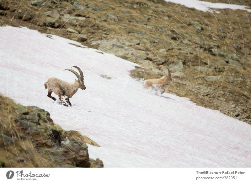 White Animal Black Yellow Mountain Gray Stone Brown Gold Wild animal Pelt Running Claustrophobia Antlers Escape Pack