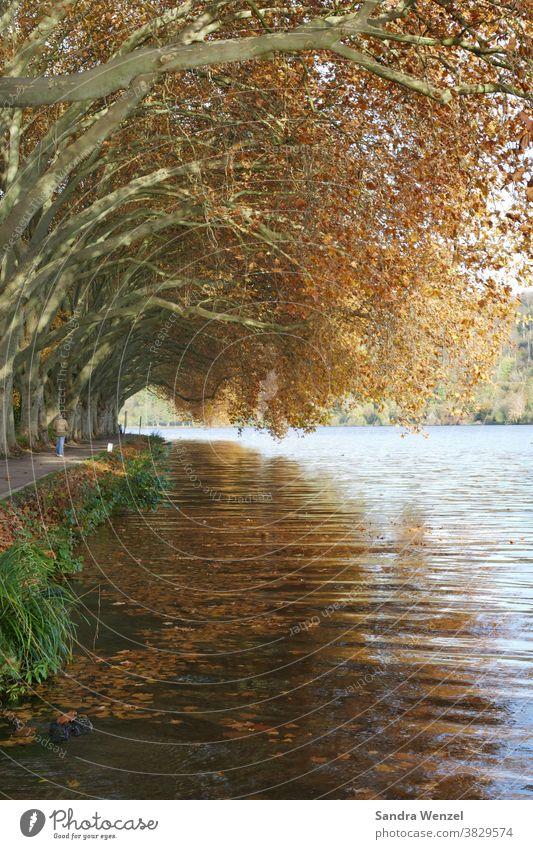 Sycamore trees at the lake Autumn autumn Lake Baldeney Eating foliage Autumn leaves golden autumn Tunnel Tunnel vision Romance autumn mood coziness golden brown