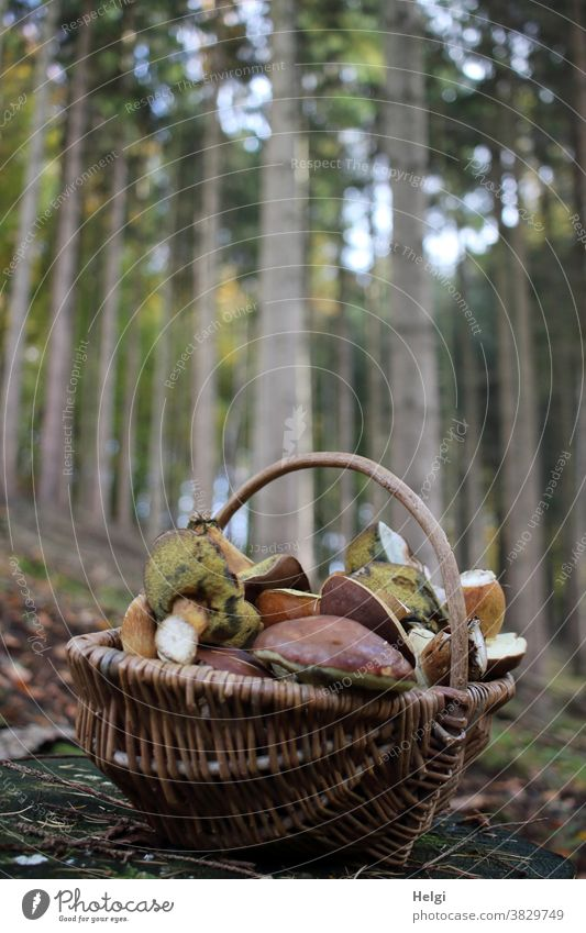 successful search - wicker basket with mushrooms stands on the forest floor, trees in the background Cep Basket Wicker basket Forest Woodground Mushroom Autumn