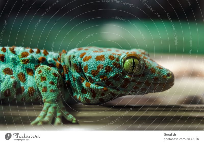 lizard gecko hanging on a bamboo wall animal background climate close close look close up closeup color colorful environment exotic exotic animal eye fauna