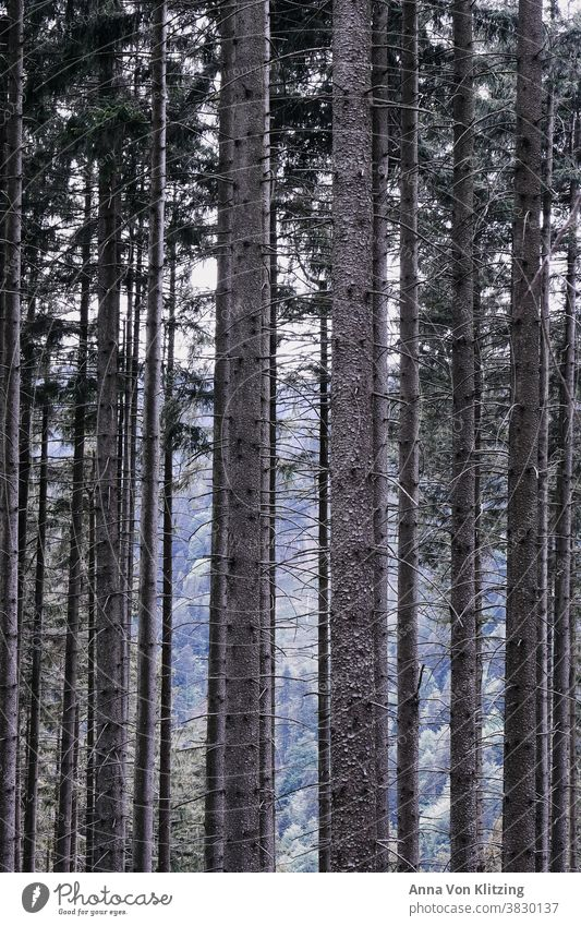 forest Forest trees Tree trunk tree trunks Wood Nature Environment Exterior shot Deserted Forestry Colour photo Coniferous forest Coniferous trees Brown