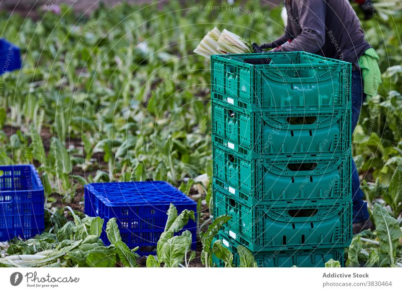 Crop farmer harvesting vegetables in box collect agriculture man lettuce plastic container male ripe plantation organic countryside field rural job work