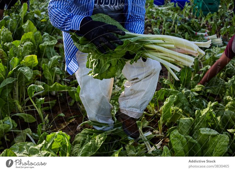 Crop man harvesting green lettuce on farm collect pick worker agriculture ripe plantation male summer farmer rural countryside cultivate fresh organic agronomy