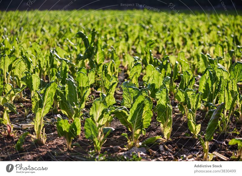 Green lettuce growing on plantation in summer field green agriculture farm harvest season sunny growth cultivate nature fresh meadow agronomy rural ripe organic