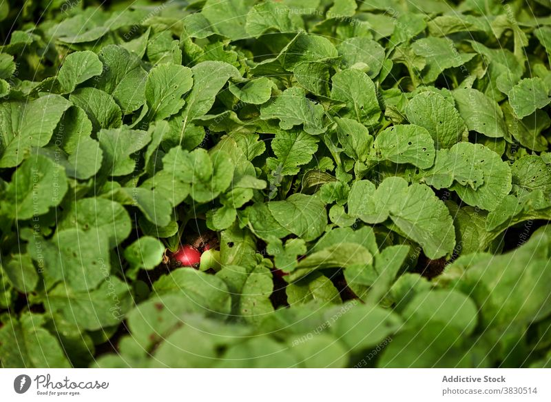 Radish growing on farm in summer radish greenhouse growth vegetable agriculture village harvest organic background cultivate ripe plantation garden fresh nature