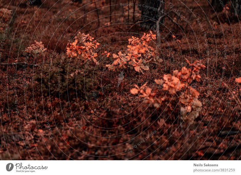 little oak trees with orange leaves in October forest foliage fall Oak leaf Autumnal colours Deserted Tree Plant Exterior shot Environment Multicoloured