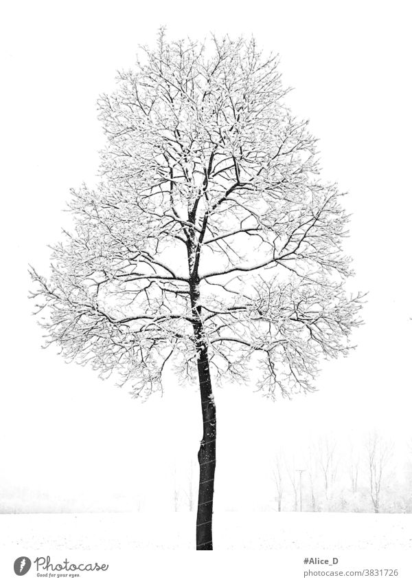 Leafless young maple tree covered with snow in snowy winter landscape Winter White Weather Wallpaper texture Tree Snow Holiday season Picturesque Nature Lonely